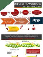 Interaccion de Los Filamentos de Actina (diapositivas)