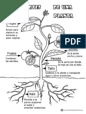Partes De Una Planta Para Colorearpdf