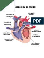 Las Partes Del Corazón