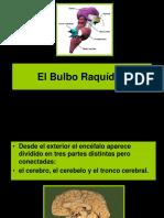 Bulbo o Medula Oblongada