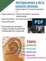 estructuradelhipocampo-130624123302-phpapp02