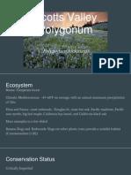 scotts valley polygonum
