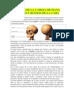 Huesos de La Cabeza Humana