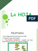 Clase 7 Hoja Filotaxia