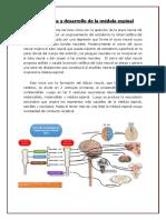 Torax Medula y Pulmones