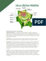 Partes de La Celula y Funciones