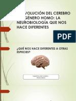 LA-EVOLUCIÓN-DEL-CEREBRO-DEL-GÉNERO-HOMO.pptx