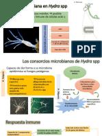 Simbiosis Bacteriana en Hydra Spp