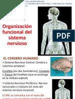 Estructura Cerebral (1).pptx