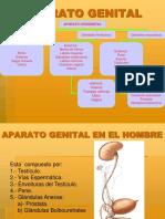 6- Aparato Genital Del Hombre