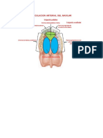 Circulacion Arterial Maxilar