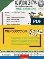 Ciclo Estral Del Bovino