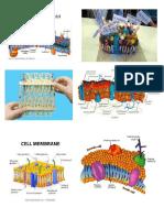 Cell Membrane Picture