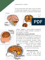 cerebro.pdf