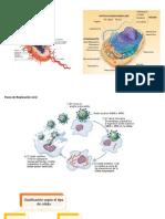 Microbios y Sistema Inmune