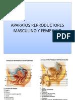 Histologia II a.rep.Masculino y Femenino