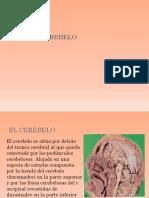 El cerebelo