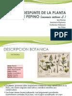 Poda y Despunte de La Planta de Pepino (1)