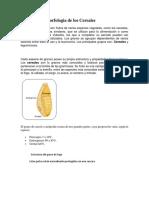 Estructura y Morfologia de Los Cereales(ARTICULO UNAM)