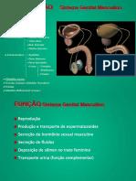 Genita Masculino histologia