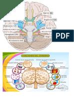 funciones del cerebro.docx