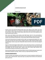 Benalu Sarang Semut Papua (Nongon)
