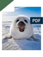 Smiling Harp Seal