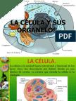 La Celula y Sus Organelos