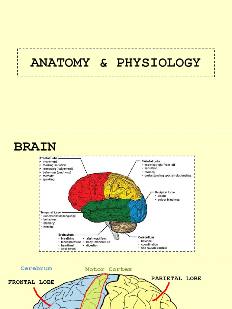 Funky Anatomy And Physiology Of Cerebellum Ensign - Anatomy and ...