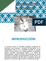 Dermatitis micótica  en conejos y cuyes