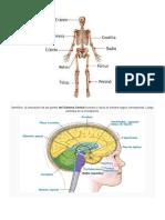 Partes Del Cuerpo Anatomia