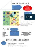 Diferenciación de células B