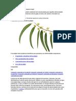Eucalipto.docx