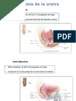 Diapositiva de Morfo-uretra