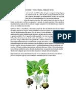 Morfología y Fisiología Del Árbol de Hevea
