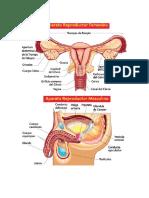 organo reproductor femenimo y masculino.docx