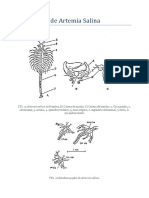 Morfología de Artemia Salina