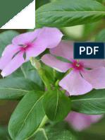 "Use of Ornamental Plant, ""Vinca"" (Vinca rosea L.) for Remediation of Lead-contaminated soil"