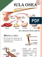 1) Medula Ösea