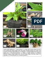 zingiberaceae.docx