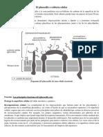 El glucocálix o cubierta celular.docx