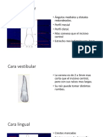 Cara Vestibular y Lingual