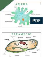 Celulas Ameba - Euglena y Paramecio en a4