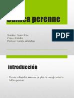 Ballica Perenne (Daniel)