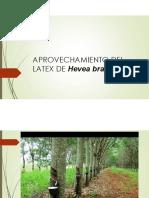 Aprovechamiento Del Latex de Hevea Brasiliensis