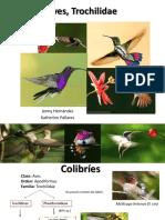 Aves Trochilidae