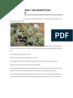 La Hierba Mora y Sus Beneficios Herbolarios