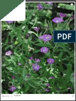 FireShot Capture 15 - HOARY WILLOWHERB (Epilobium Parvifloru_ - Http___www.naturalherbs.ro_herbs_g
