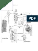 Ciclo de Vida Rhodophyta