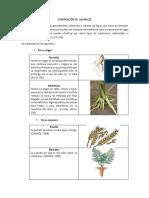 267896922-Clasificacion-de-Las-Raices.docx